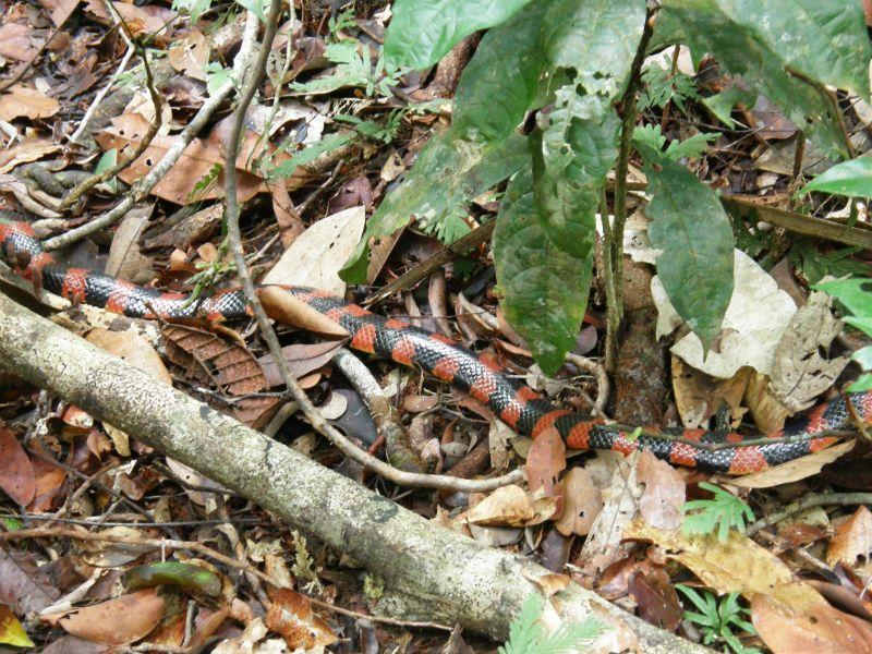 smrt na cestě, kobra coral 2 - Brazílie- Amazonie a Manaus