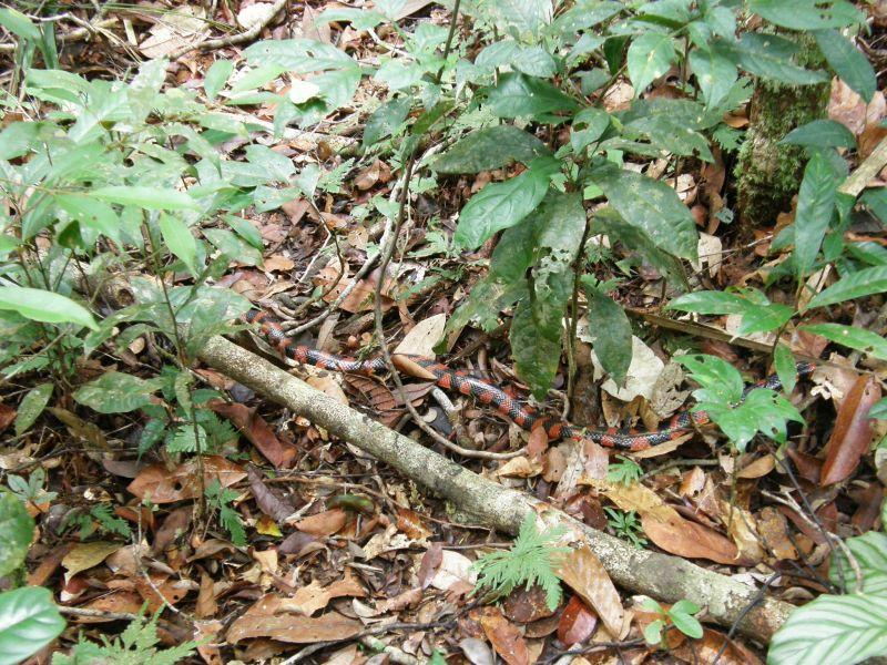 smrt na cestě, kobra coral - Brazílie- Amazonie a Manaus