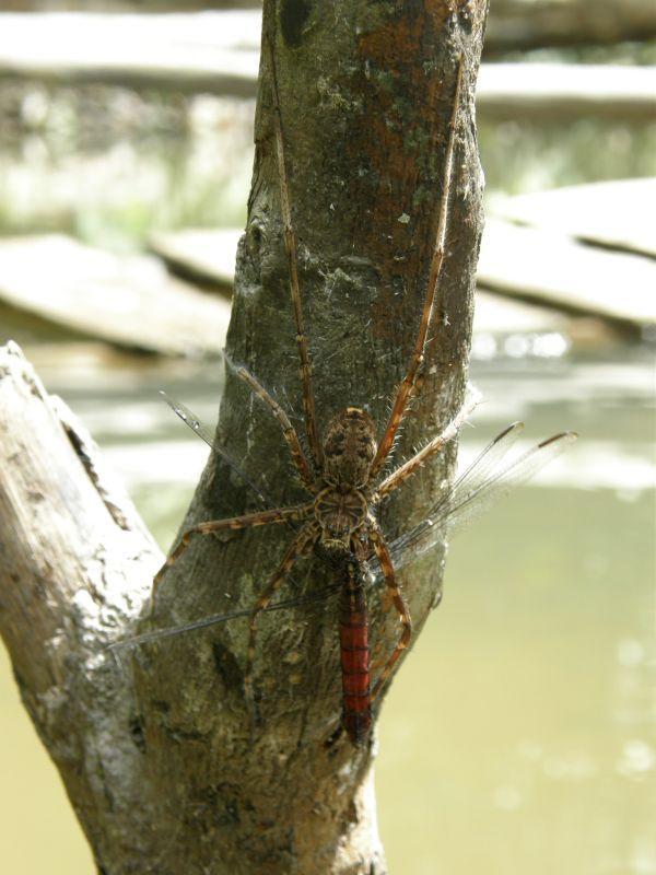 Vodní pavouk ukořistil vážku - Brazílie- Amazonie a Manaus