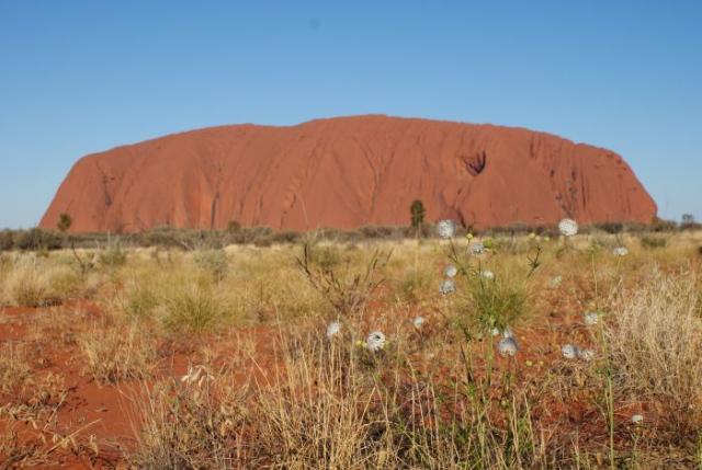 Květy kolem Uluru - Centrální Austrálie