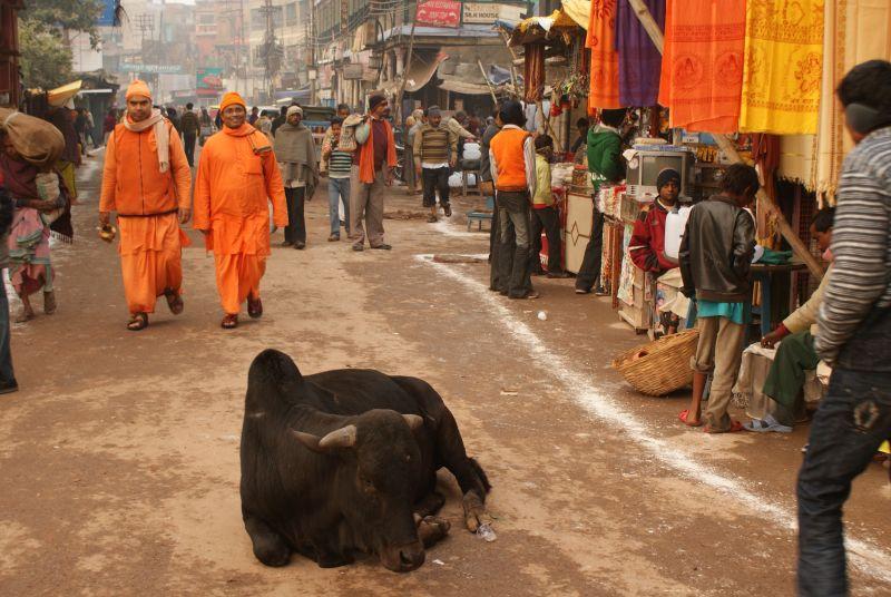 Kráva v Indii může téměř vše - Indie - Posvatne mesto Varanasi