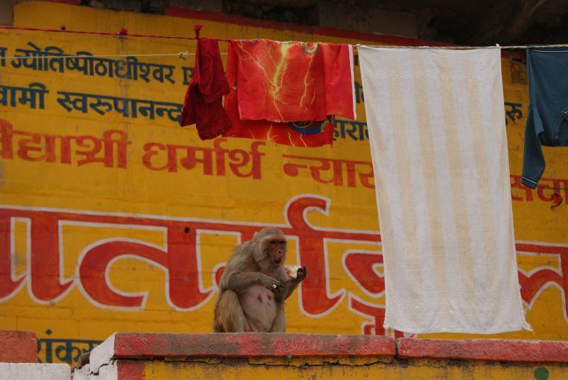 Opice z Varanasi - Indie - Posvatne mesto Varanasi