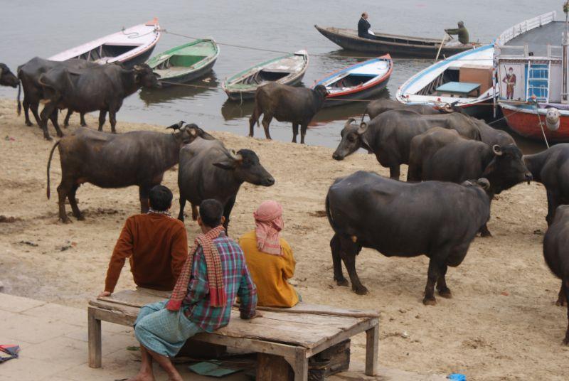 Vodní buvolové z Varanasi - Indie - Posvatne mesto Varanasi