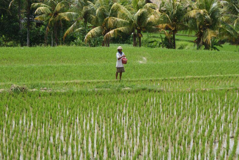Hnojení rýžových polí je ekologický problém - Indonésie- Bali
