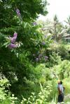 mega šeřík? - Indonésie- Bali