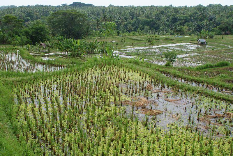 Rýžové políčka 2 - Indonésie- Bali