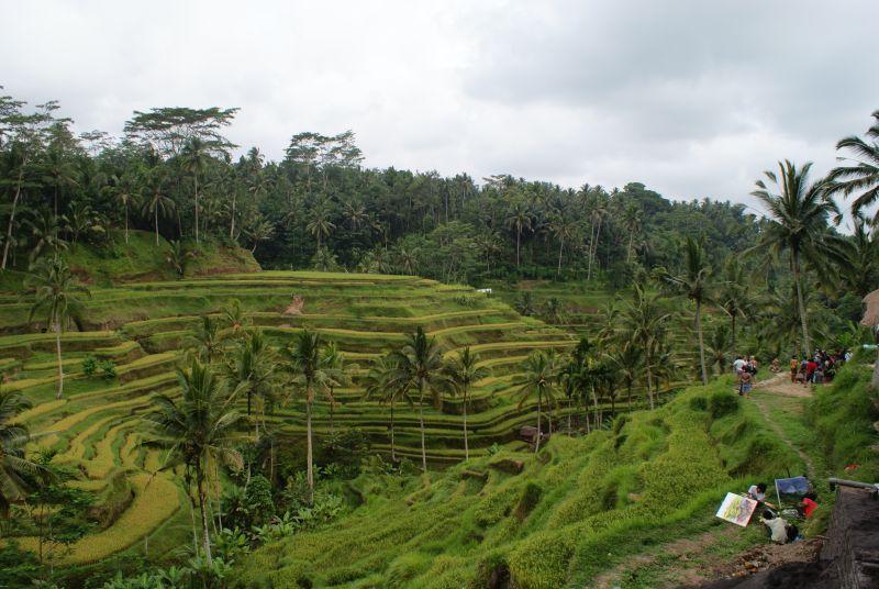 Rýžové políčka - Indonésie- Bali