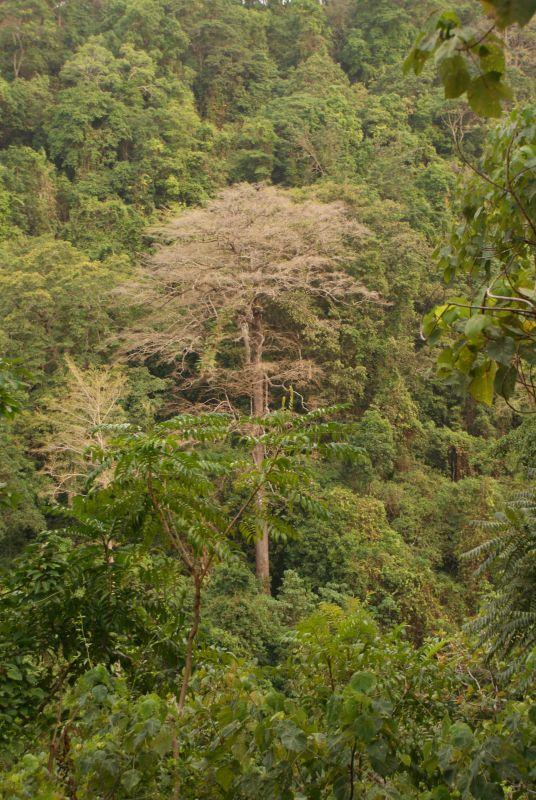 Suchý velikán džungle - Indonésie- Lombok